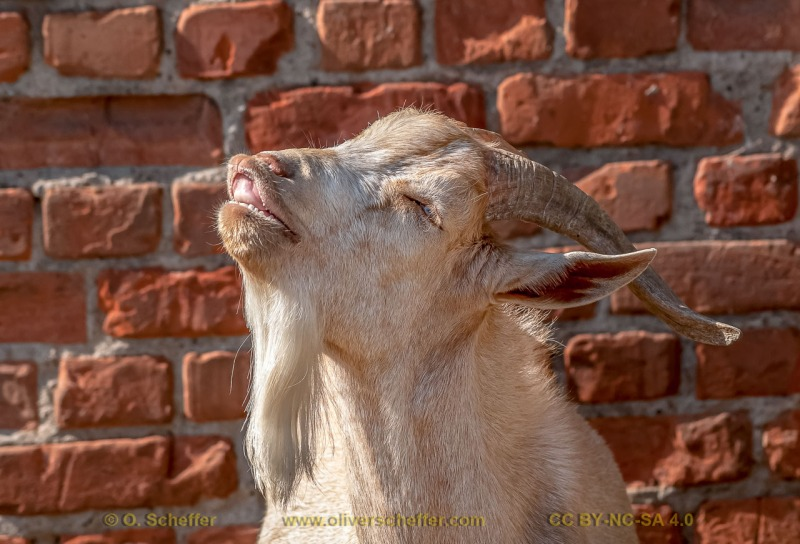 goat-05
