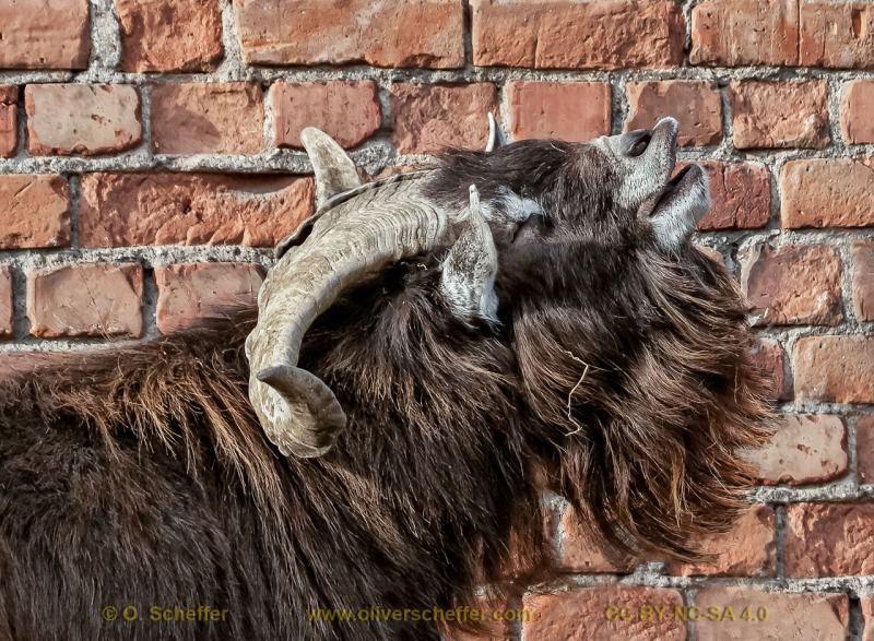 goat-06