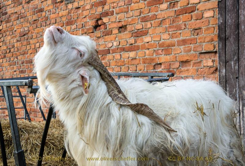 goat-11