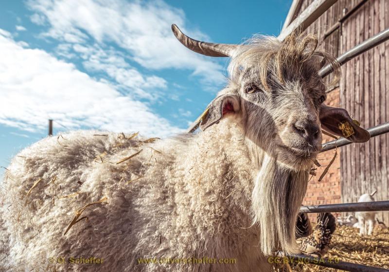 goat-15