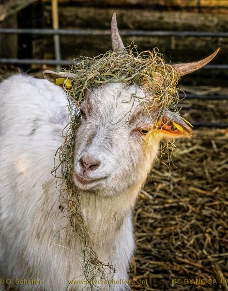 goat-23