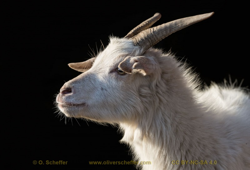 goat-24
