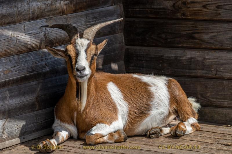 goat-28