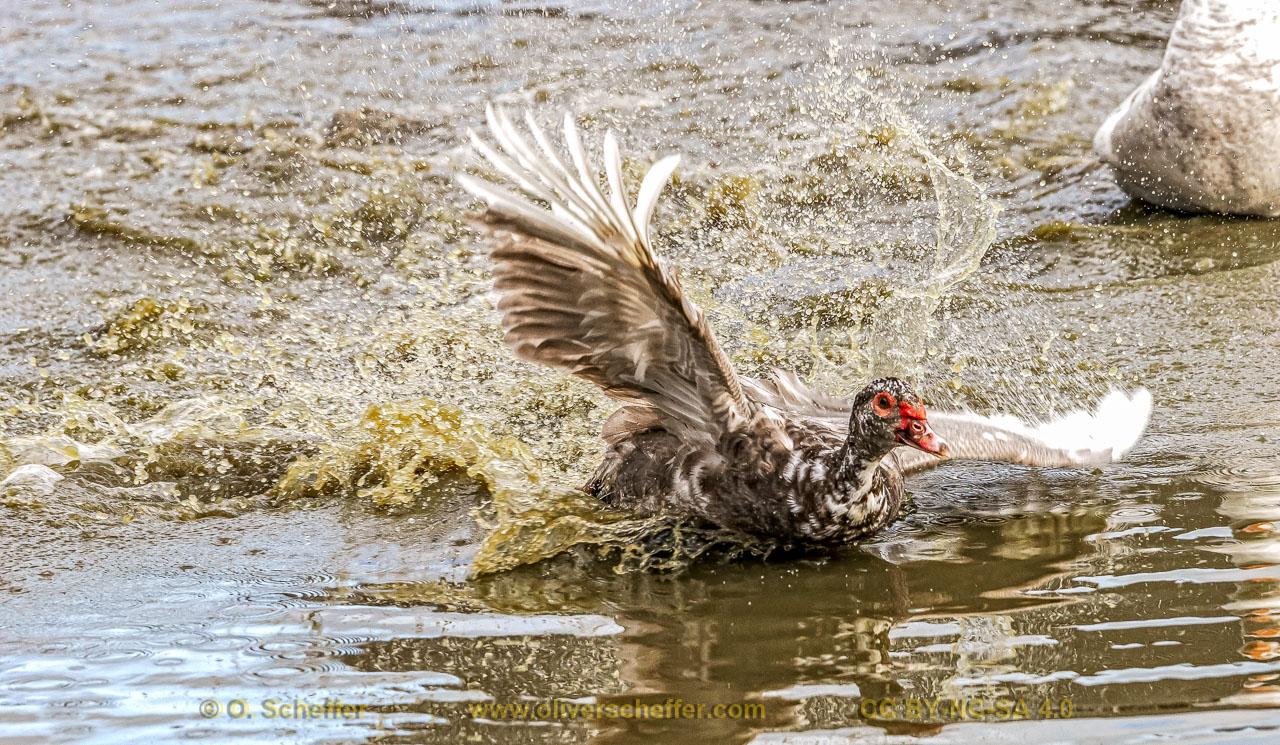 duck-06