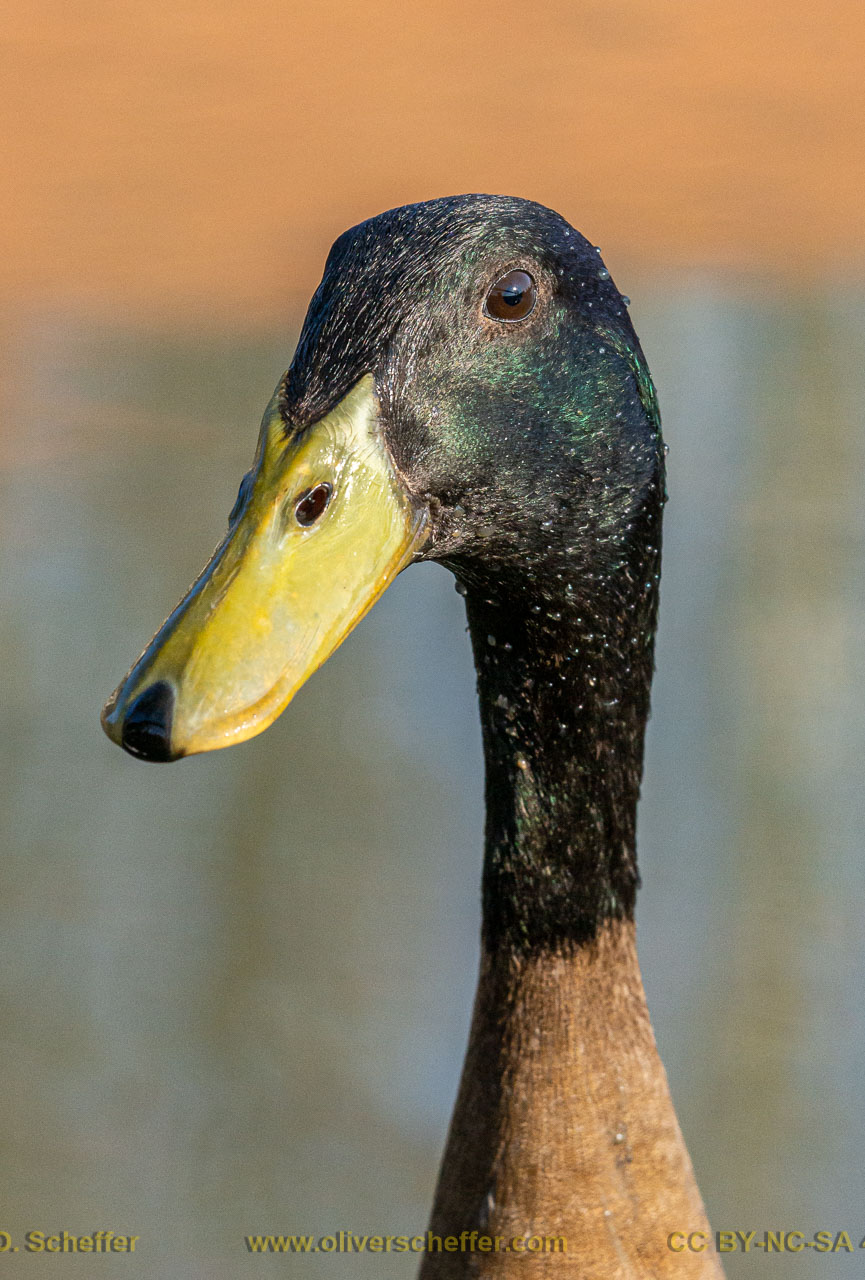 duck-08