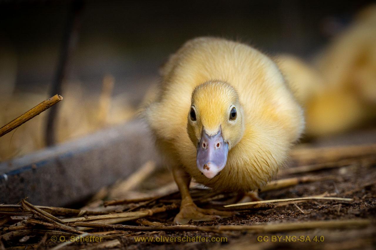 duck-09