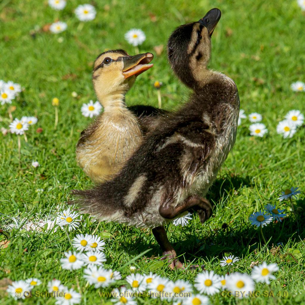 duck-12