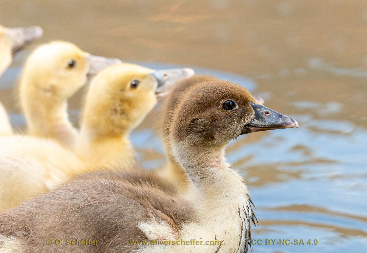 duck-15