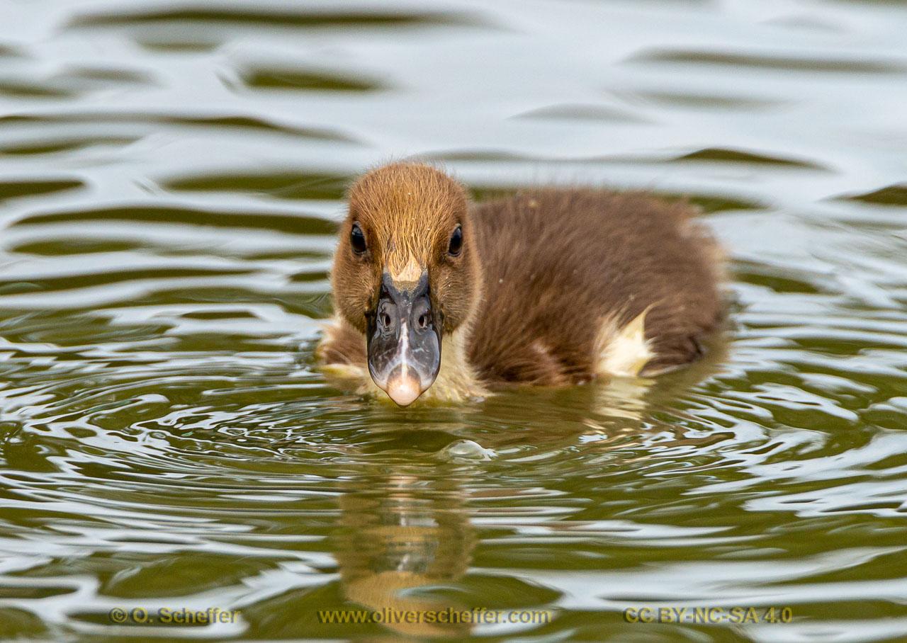duck-17