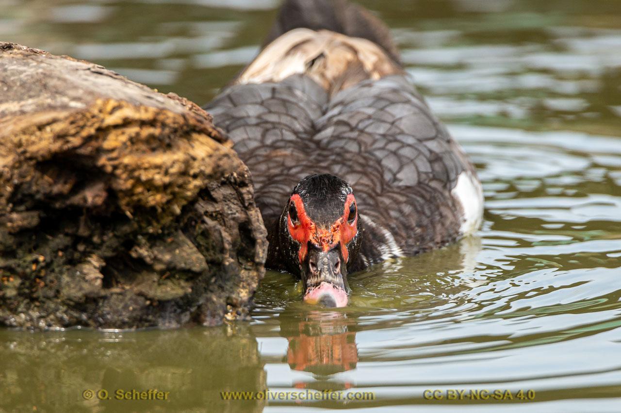 duck-19