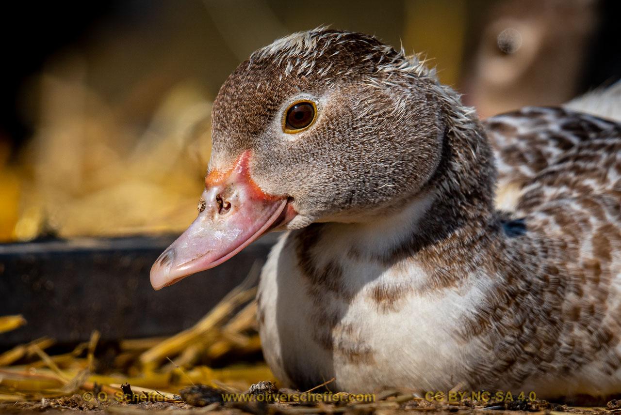 duck-23