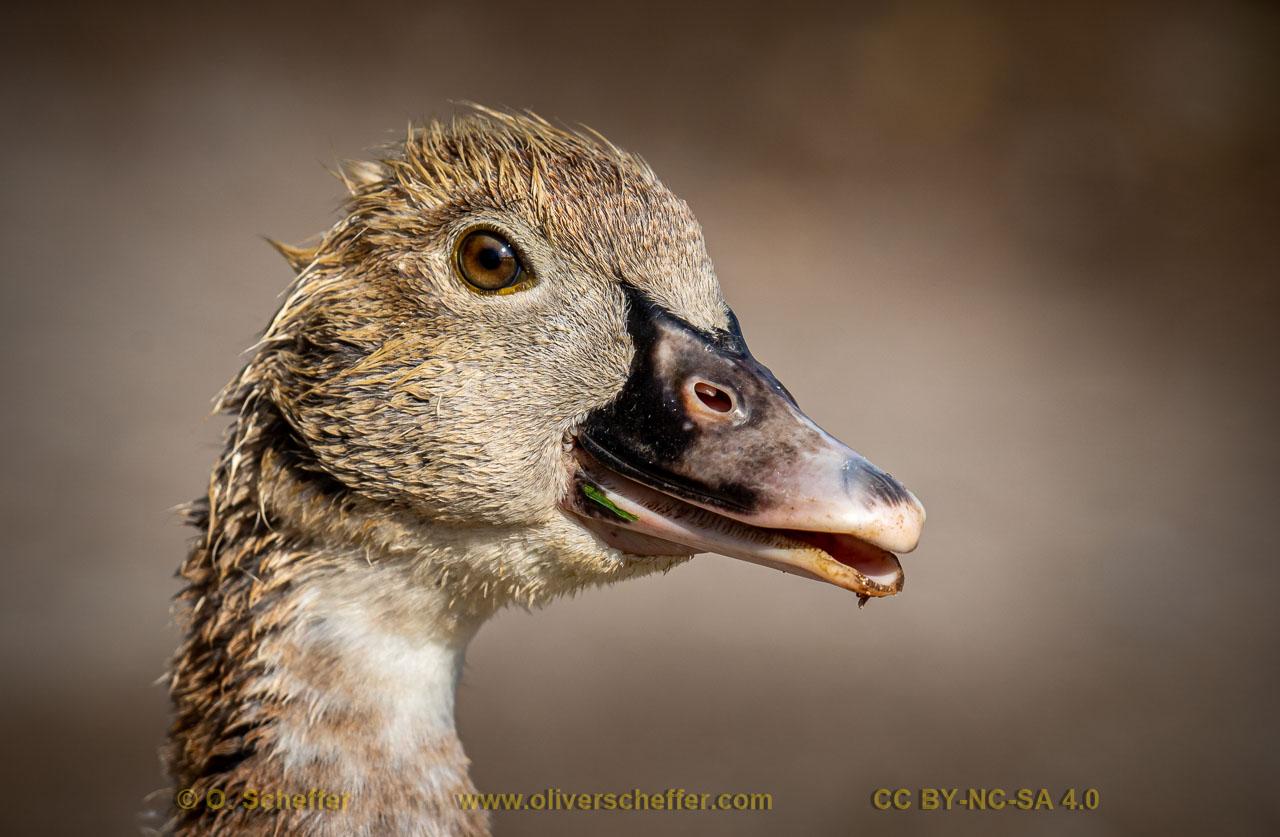 duck-25
