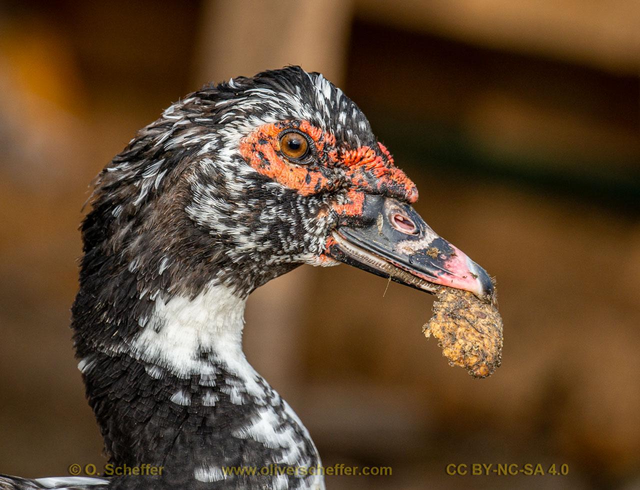 duck-26
