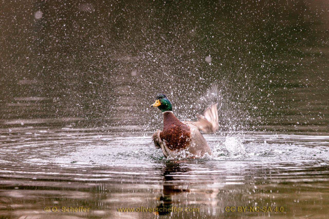 duck-27