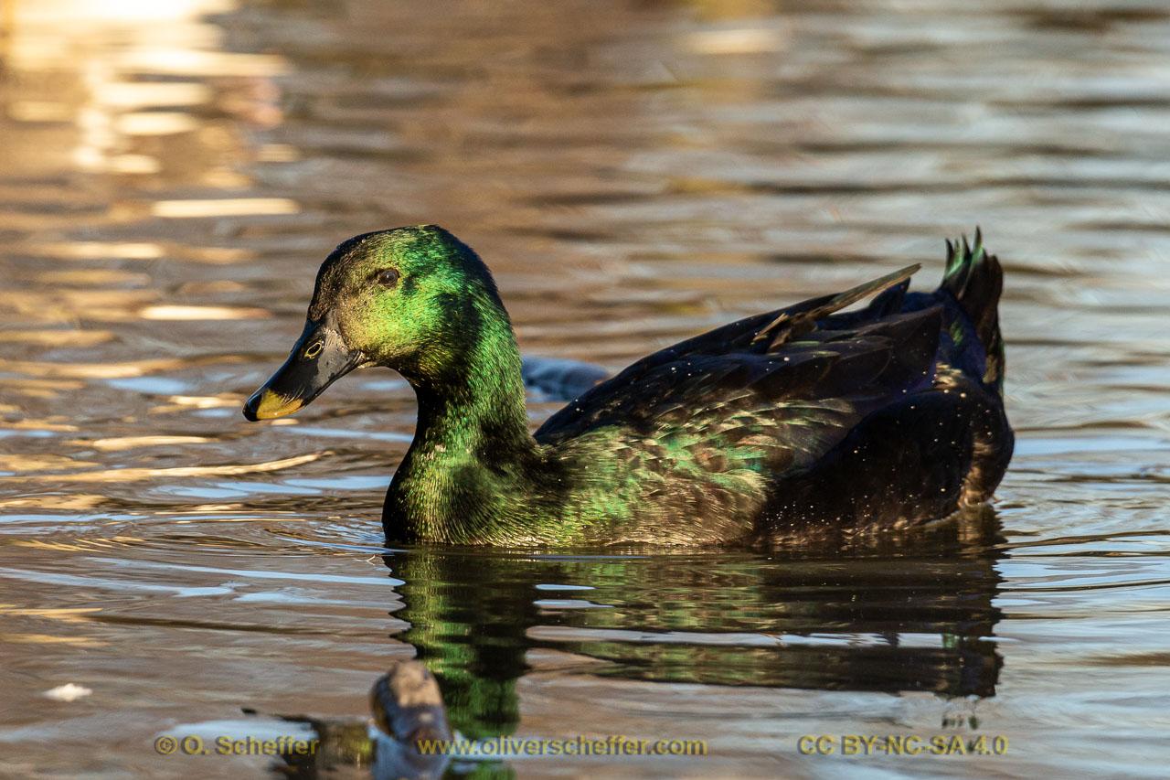 duck-29