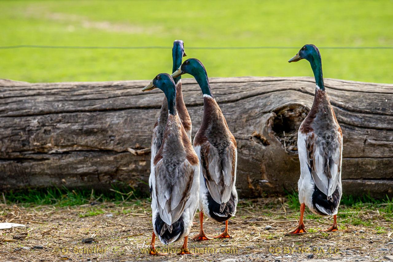 duck-30