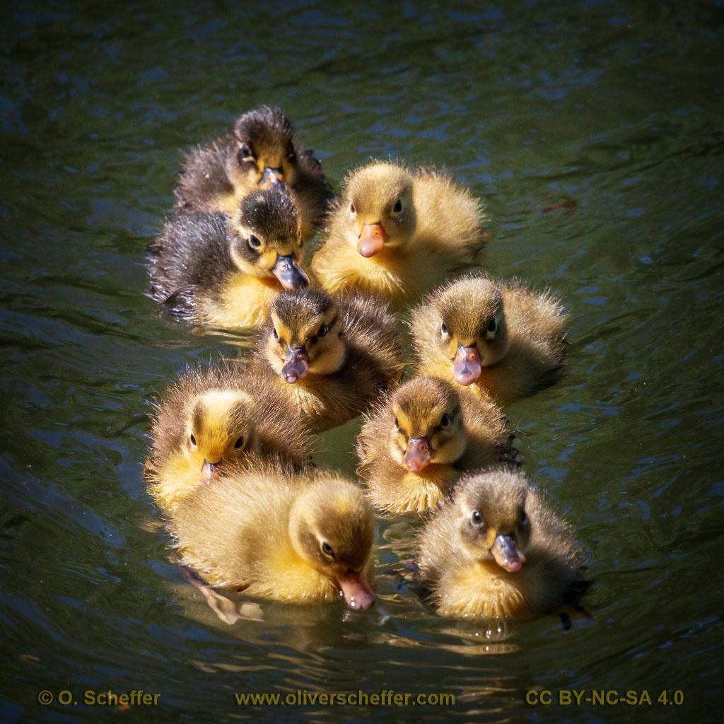 duck-31