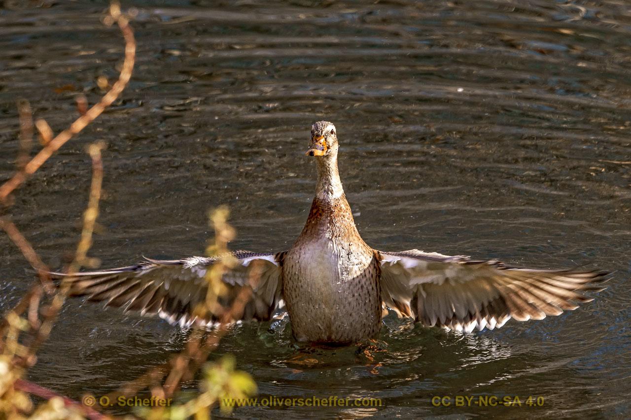 duck-36