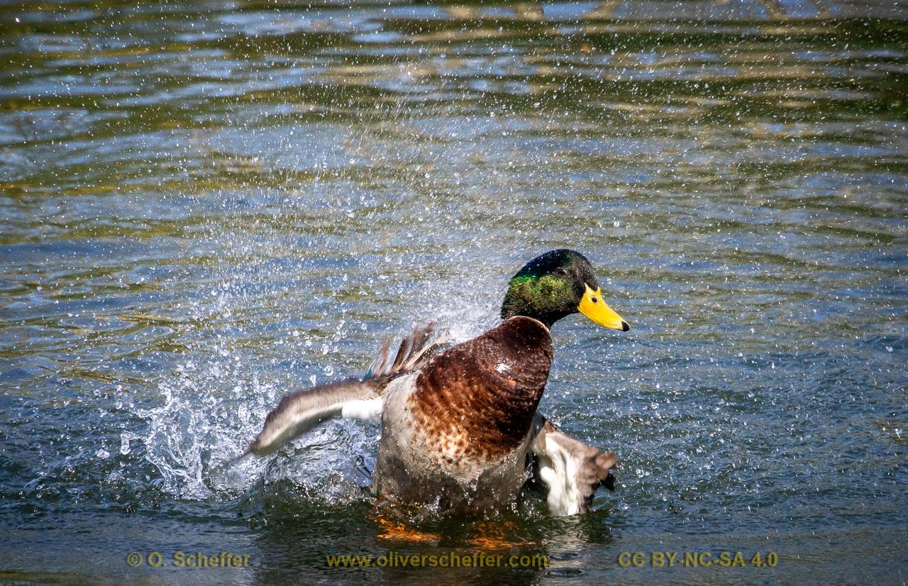 duck-38