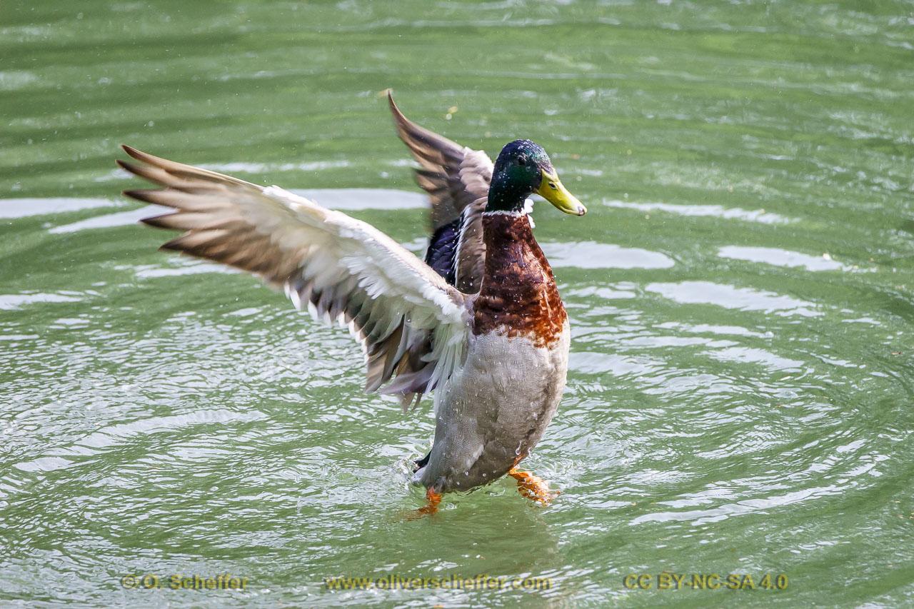 duck-39