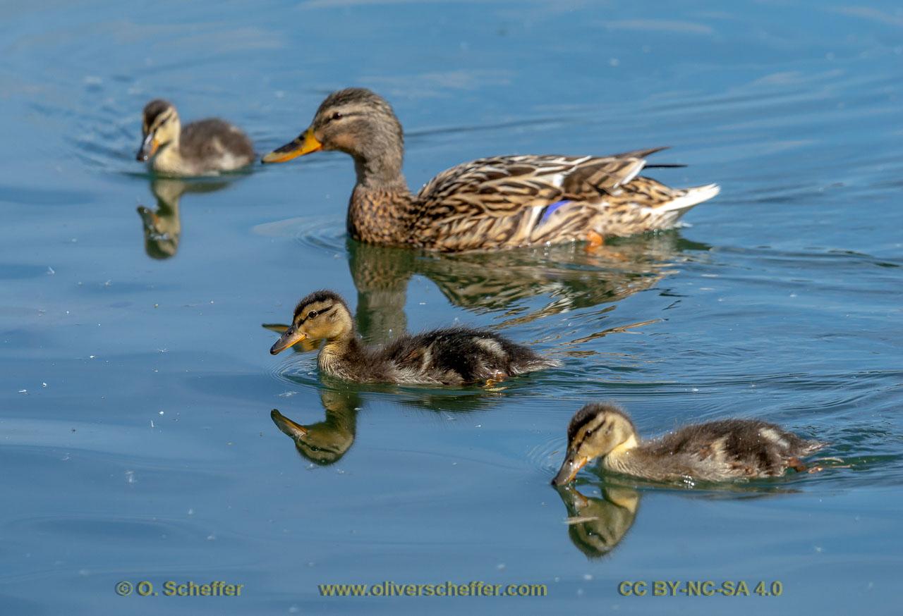 duck-40