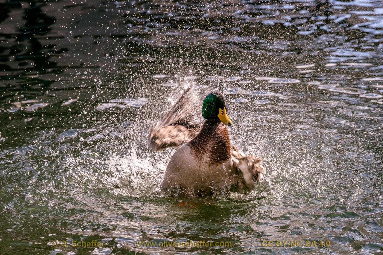 duck-41