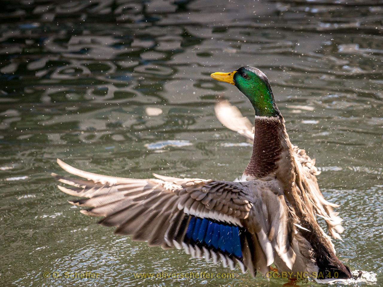 duck-42