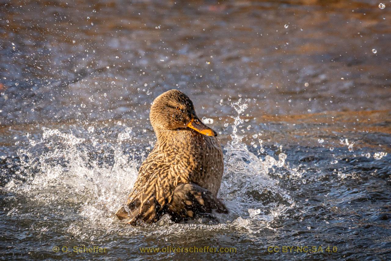 duck-43
