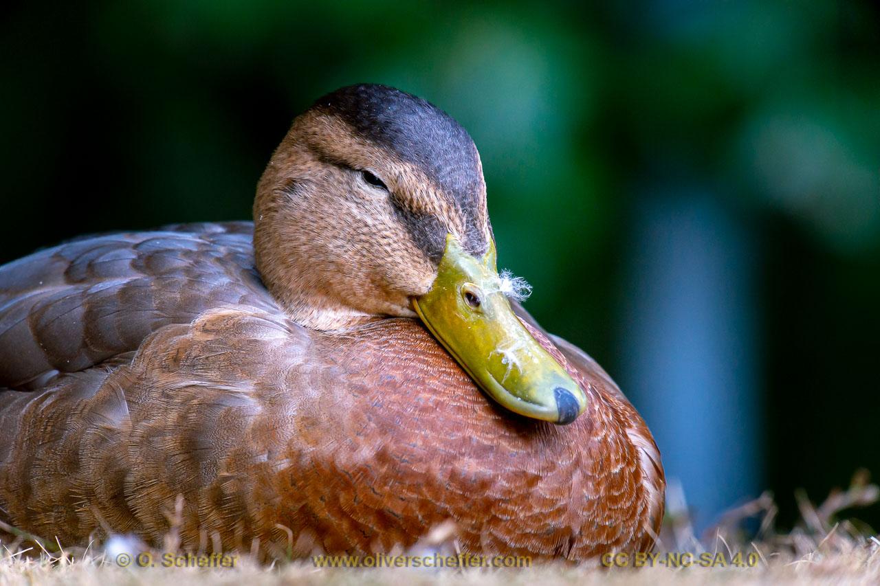 duck-45