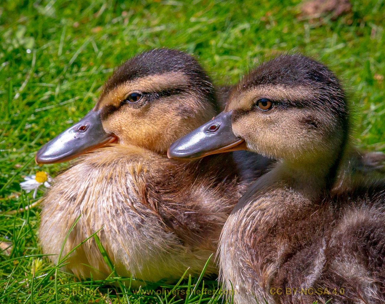 duck-46