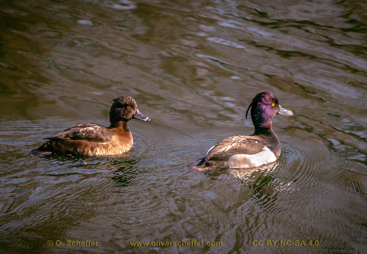 duck-47