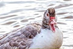 duck-01