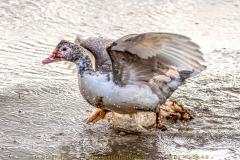 duck-03
