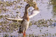 duck-04