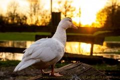 duck-05
