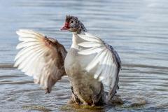 duck-13