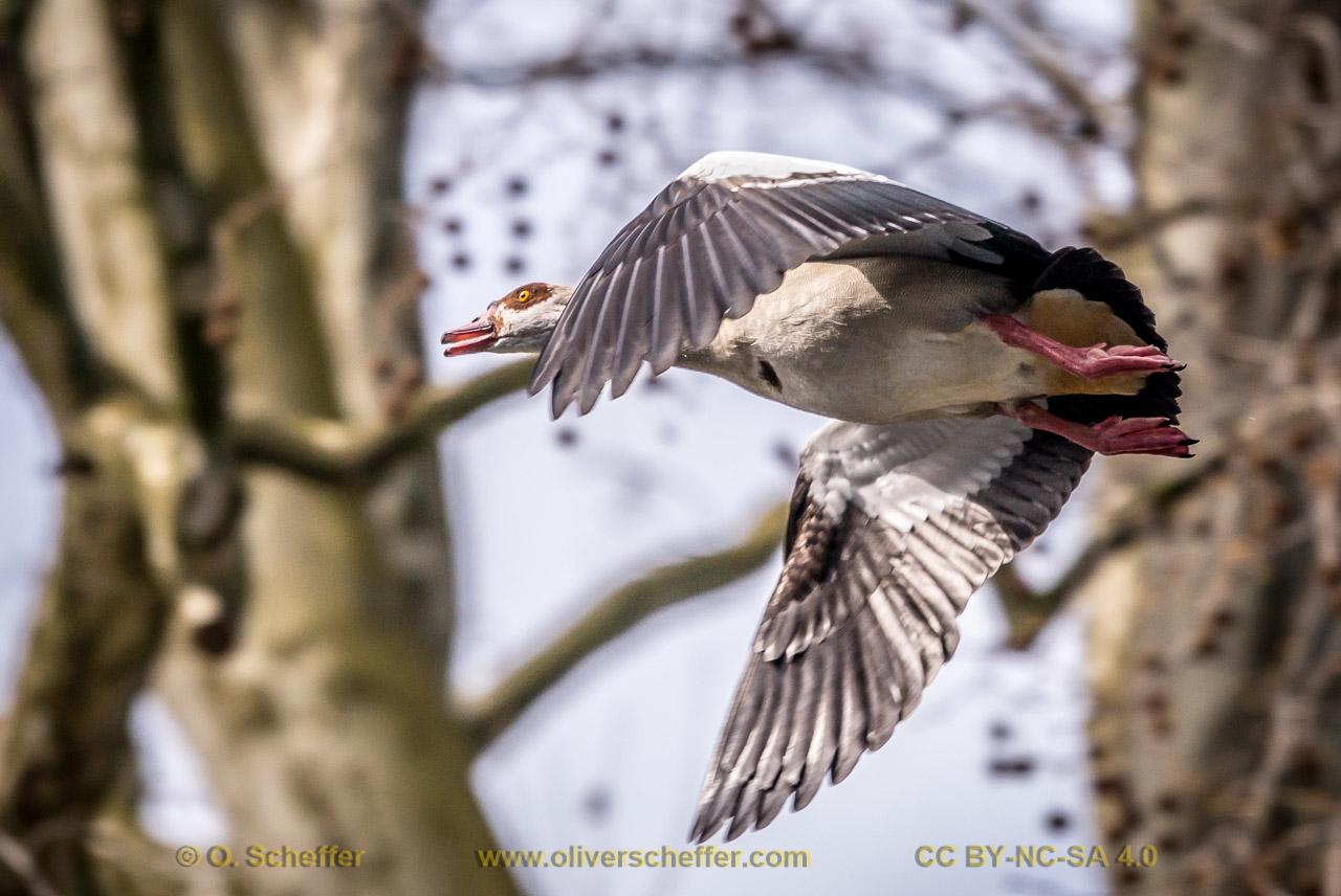 goose-10