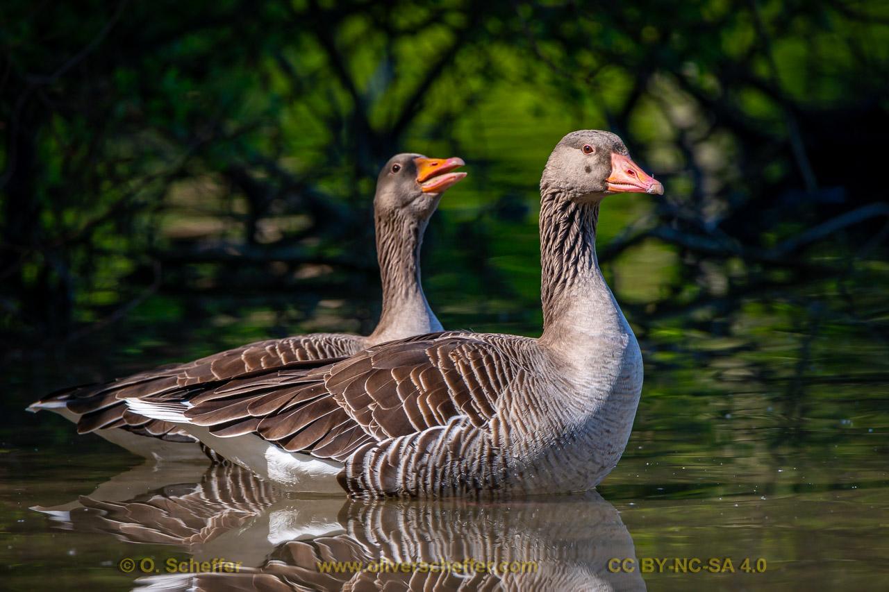goose-15