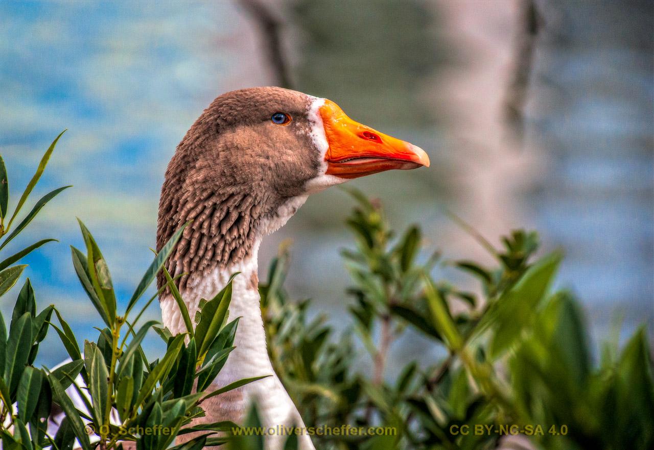 goose-21