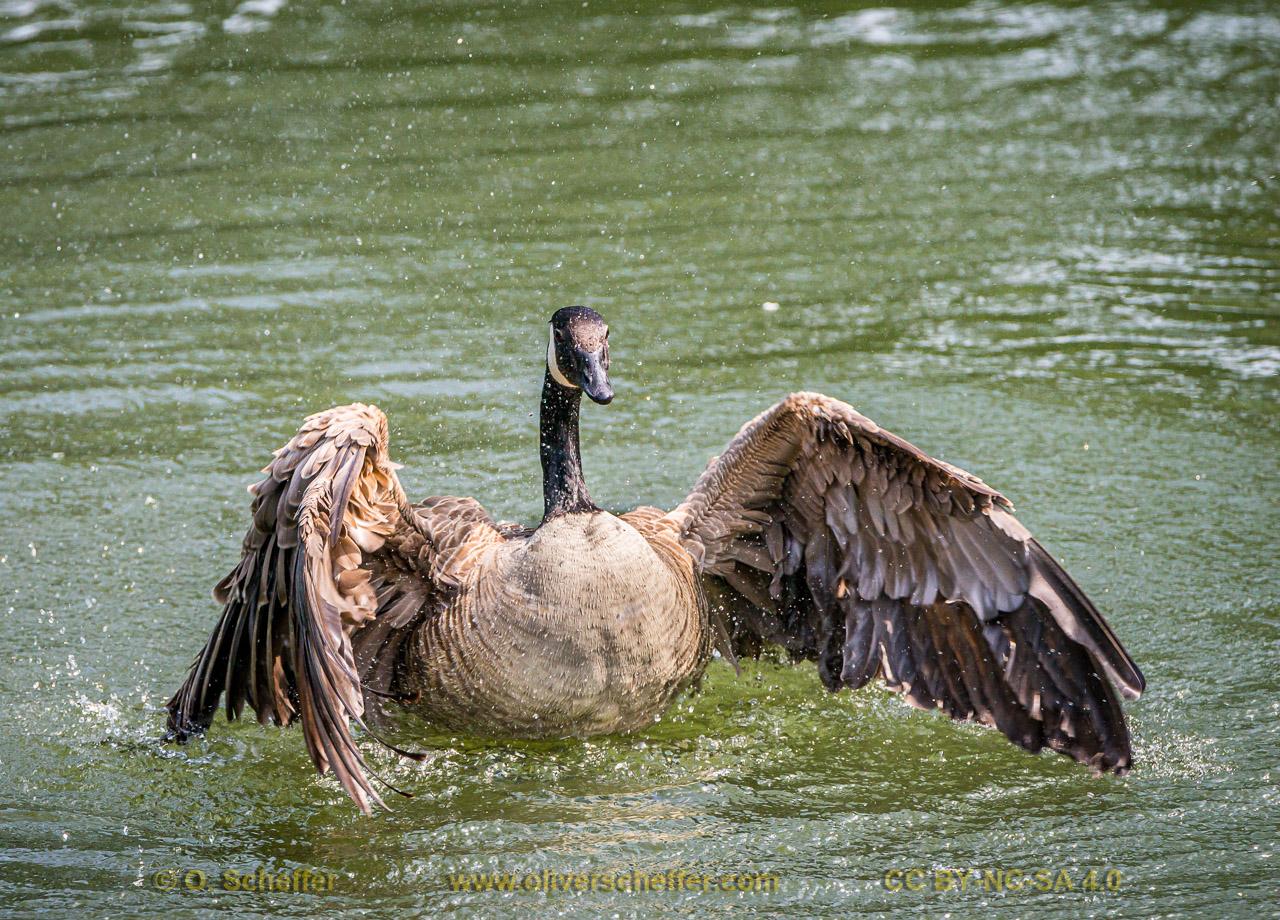 goose-23