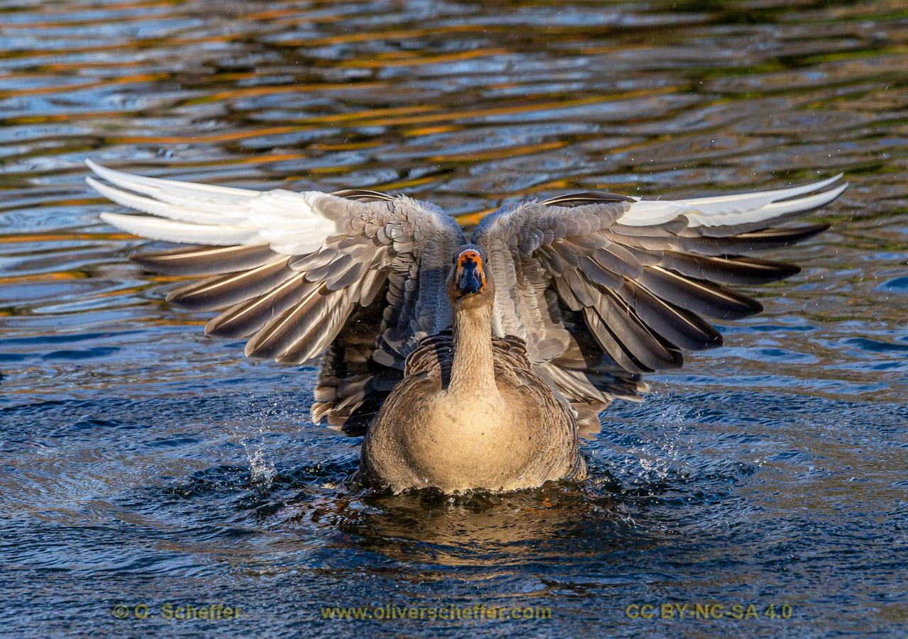 goose-29