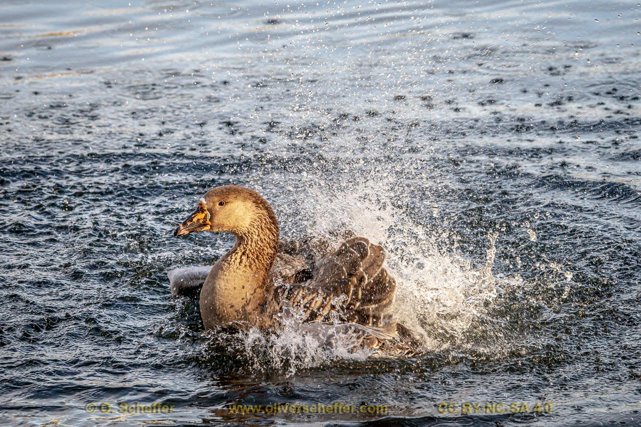 goose-30