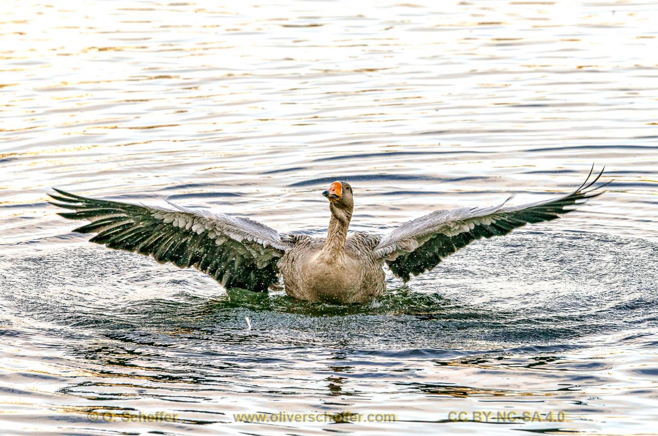 goose-31
