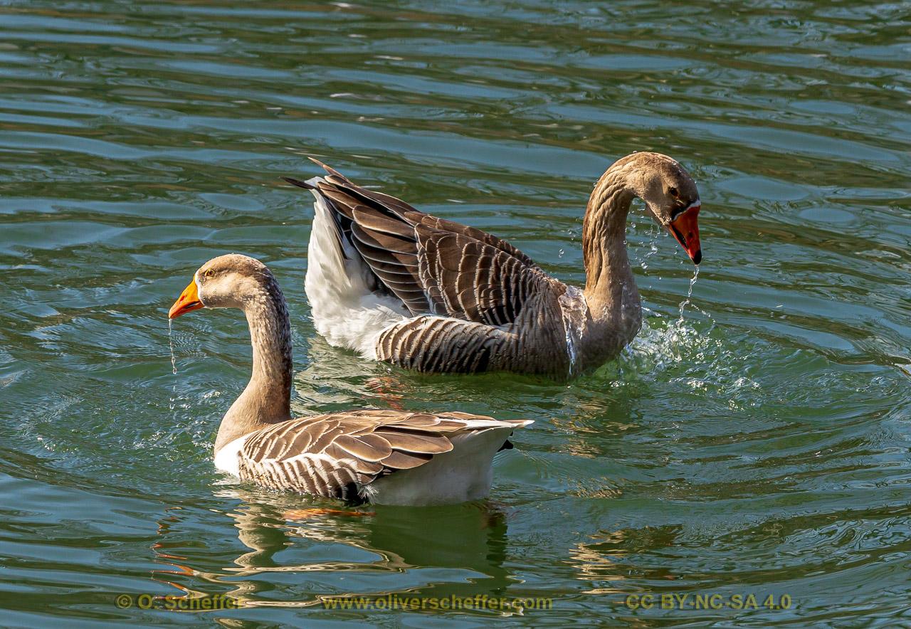 goose-34