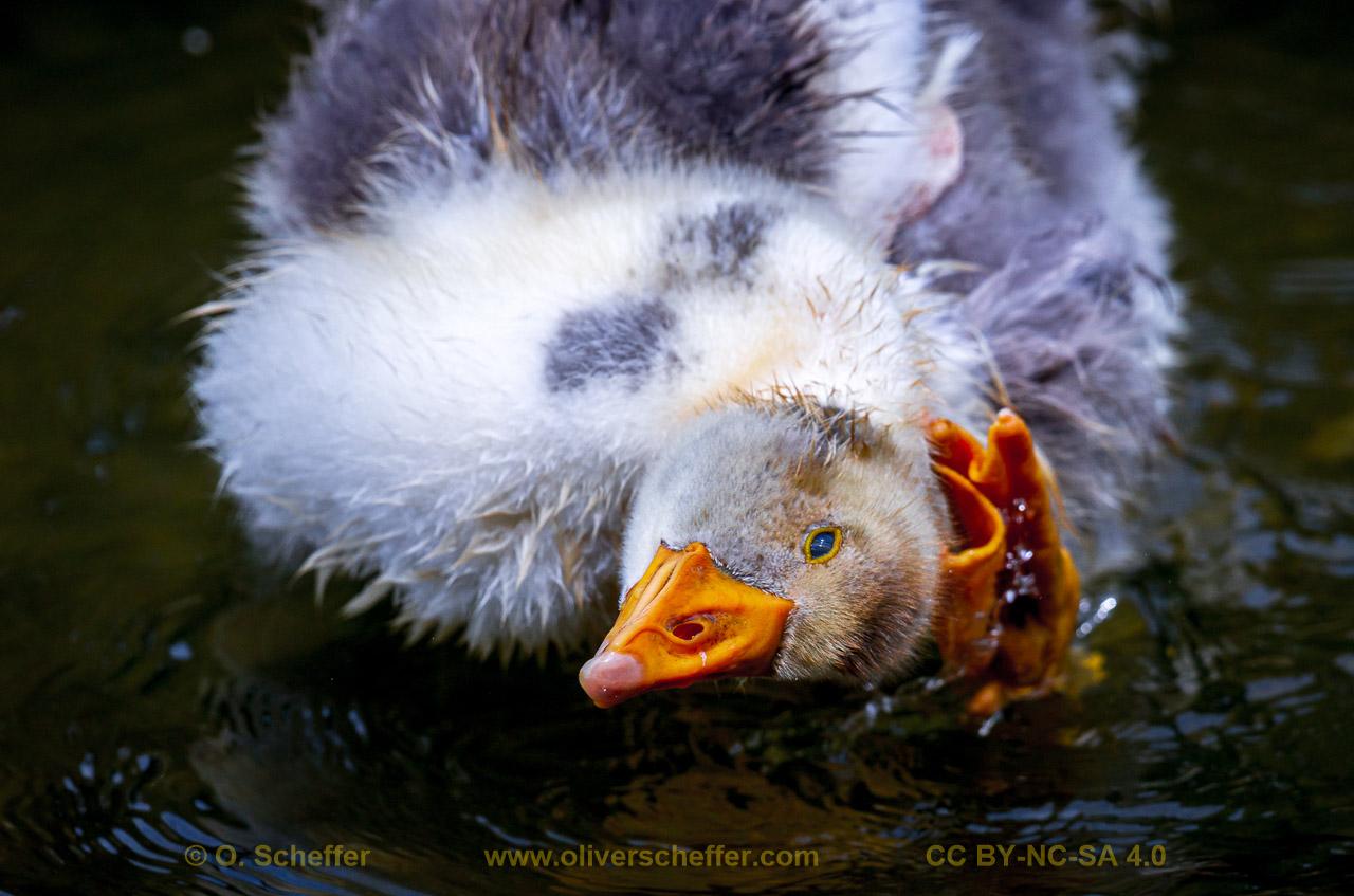 goose-39