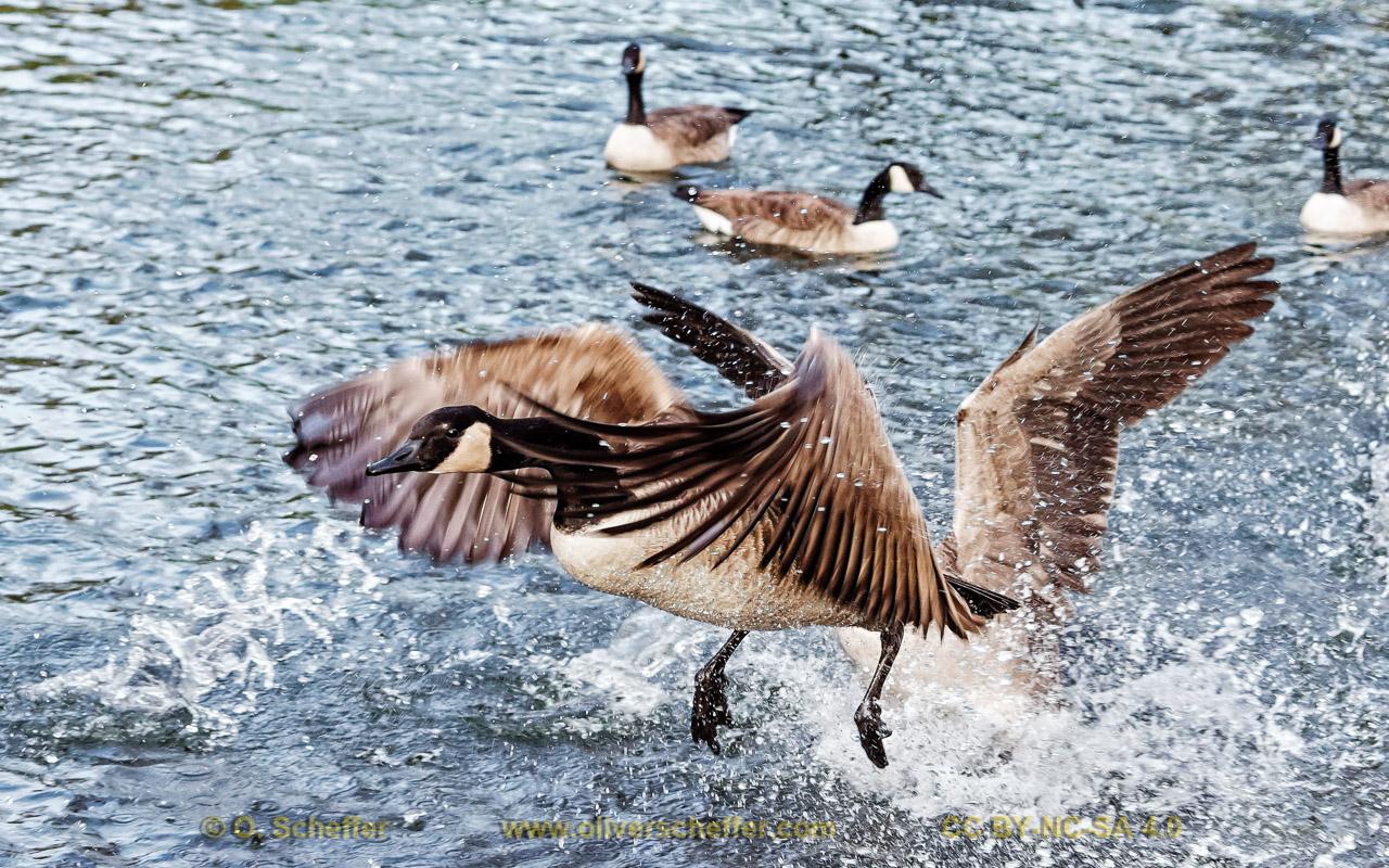 goose-47
