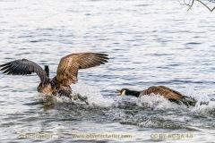 goose-16