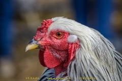 chicken-05