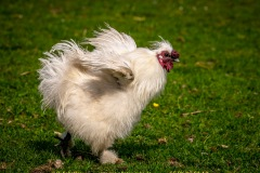 chicken-07