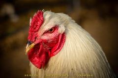 chicken-09